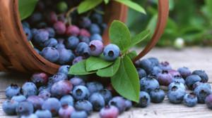 Sadnja, uzgoj i sorte borovnice