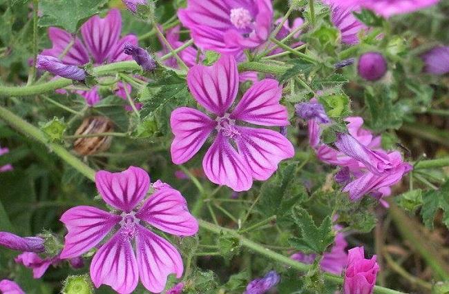 Crni slez – čaj, upotreba biljke i lekovitost