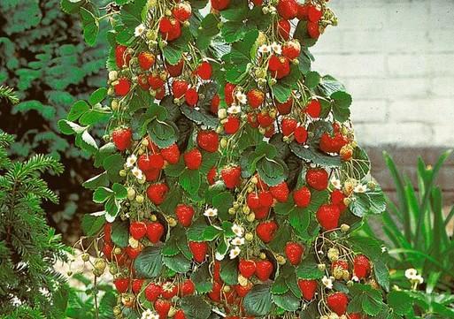 Jagode penjačice –  sadnja i uzgoj