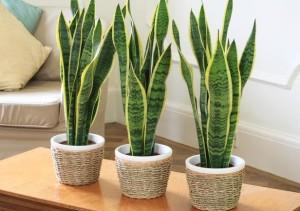 Ovo su kućne biljke koje čiste vazduh