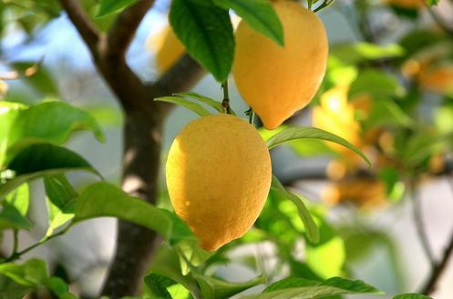 Sadnja i uzgoj limuna