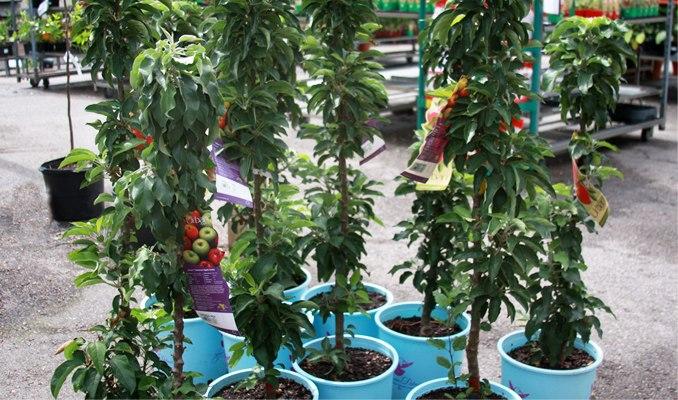 Stubaste jabuke – sorte, sadnice, sadnja, uzgoj i orezivanje