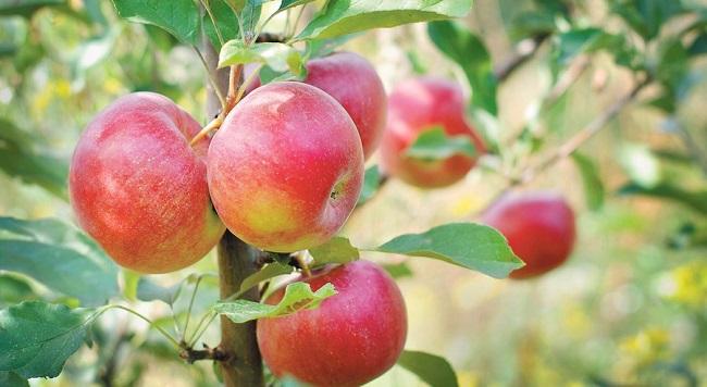 Zaštita jabuke od bolesti