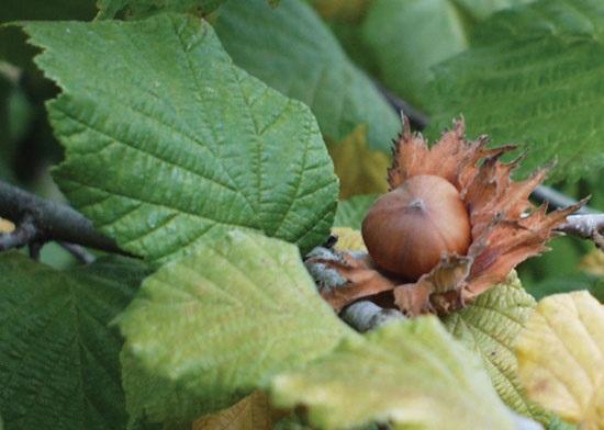 Sadnja, sorte i uzgoj lešnika