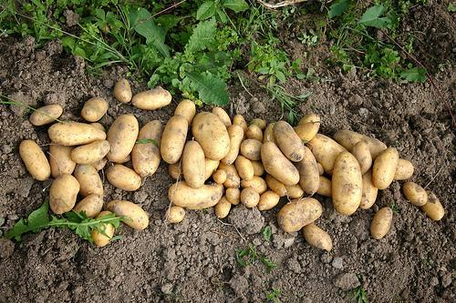 Sadnja, uzgoj i sorte krompira