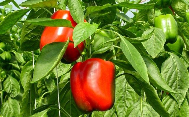 Zaštita paprike od bolesti