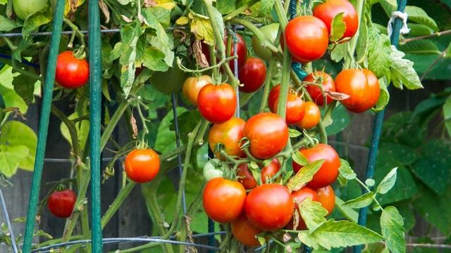 Zaštita paradajza od bolesti