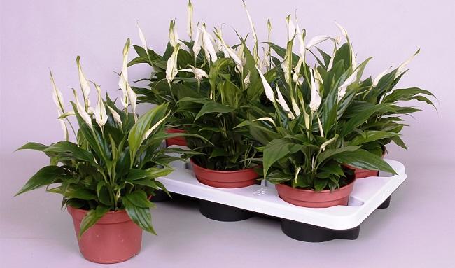 Spatifilum biljka - sadnja, uzgoj, nega, lekovitost i upotreba