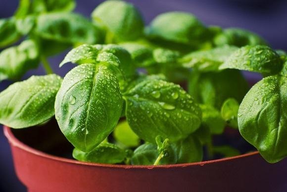 Začinsko bilje - sadnja i uzgoj u stanu